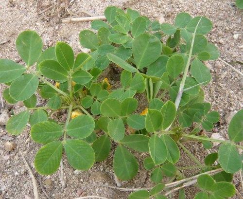 Что такое орех арахис выращивание 728