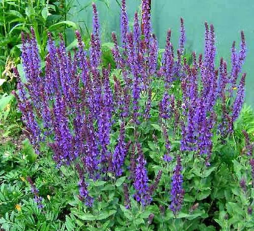 Просмотров: 9870 Опубликовано: 24-04-2012, 15:37 ...: cadogorod.ru/flowers/453-shalfej-mnogolikij-krasavec.html