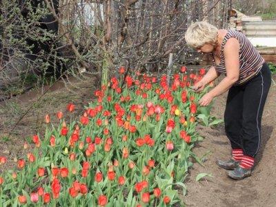 Вот что я делаю после цветения тюльпанов