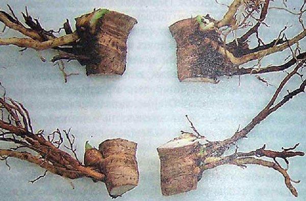 Как размножить пион