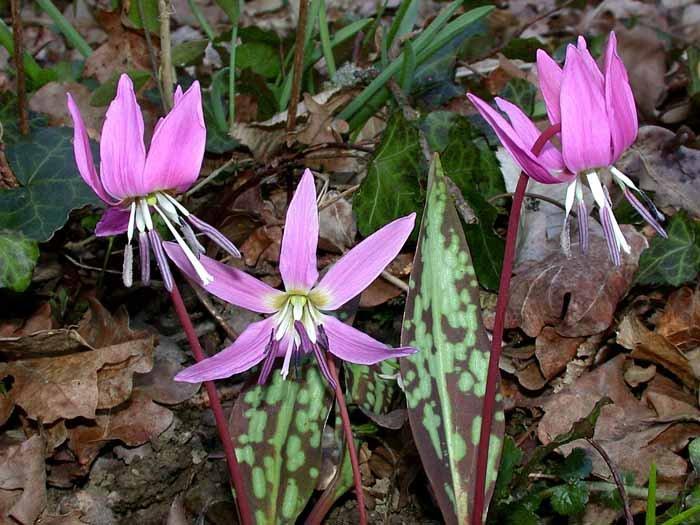 цветы можжевельника