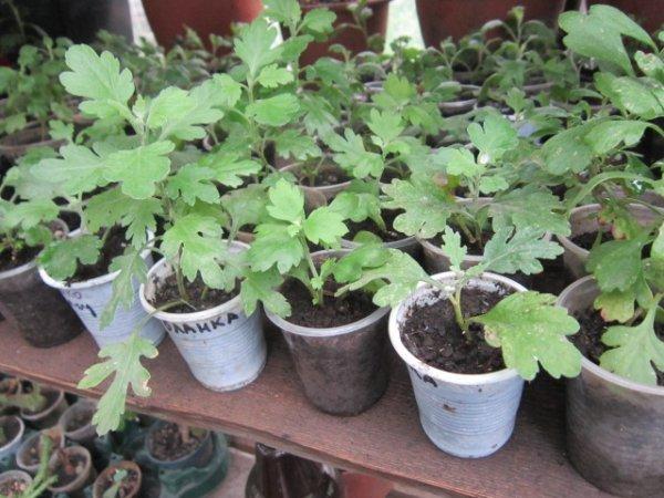 Как размножать хризантемы черенками